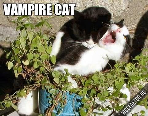 Macskafajták #9