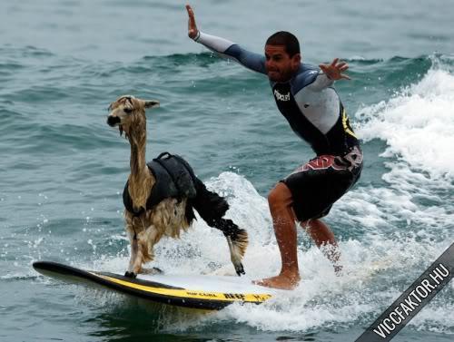 Szörföző állatok-új divat/sport?