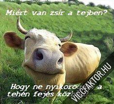 Nem nyikorog a tehén